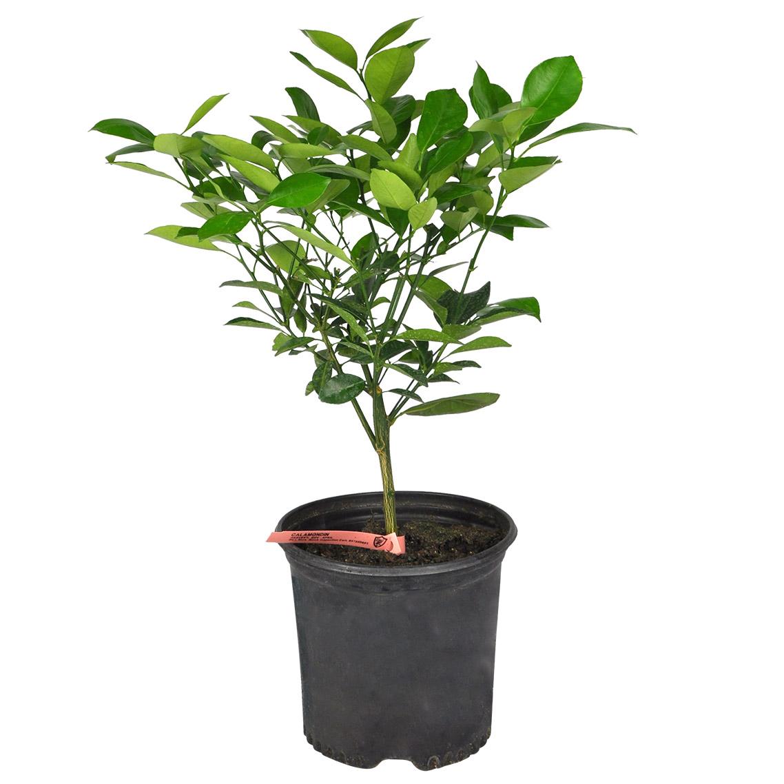 Plantes Tropicales Planterra